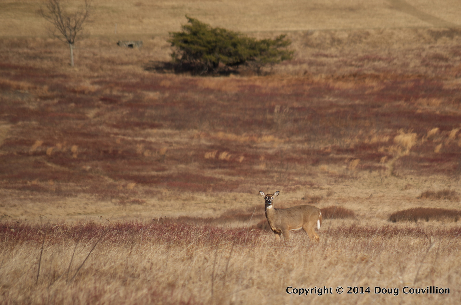 photograph of a whitetail deer standing in a meadow