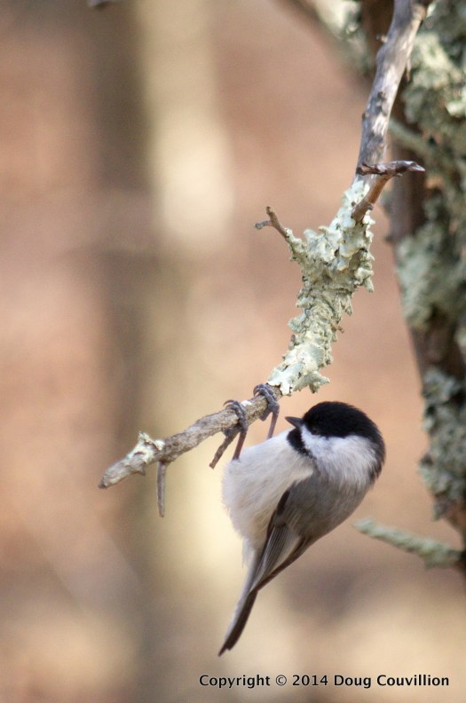 photograph of a Carolina Chickadee on a branch with lichen