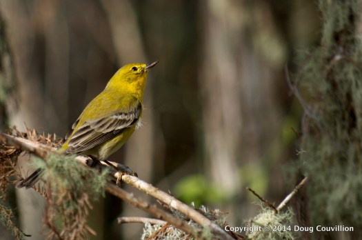 photograph of a Pine Warbler perched on a branch