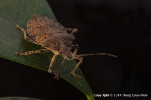 macro photograph of a rough stink bug, Brochymena arborea, on a ficus plant