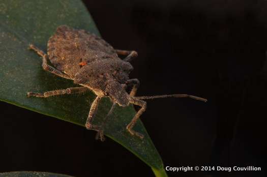 macro photograph of Brochymena arborea, rough stink bug, on a ficus leaf by Doug Couvillion