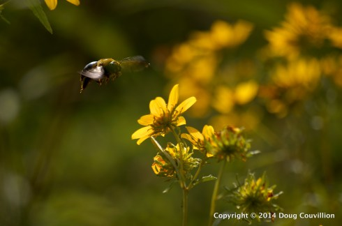 photograph of an Eastern Carpenter Bee landing on a Thin-Leaved Sunflower