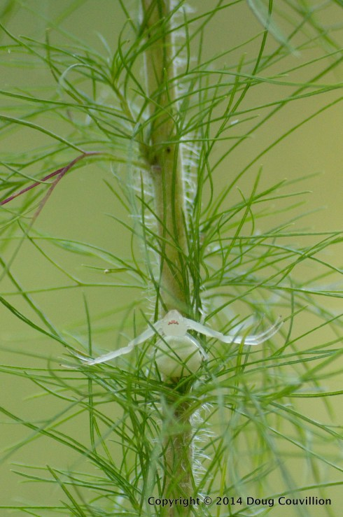 photograph of a goldenrod crab spider on the stem of a plant