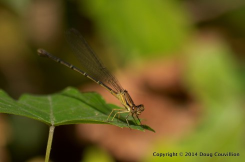 photograph of a damselfly on a leave