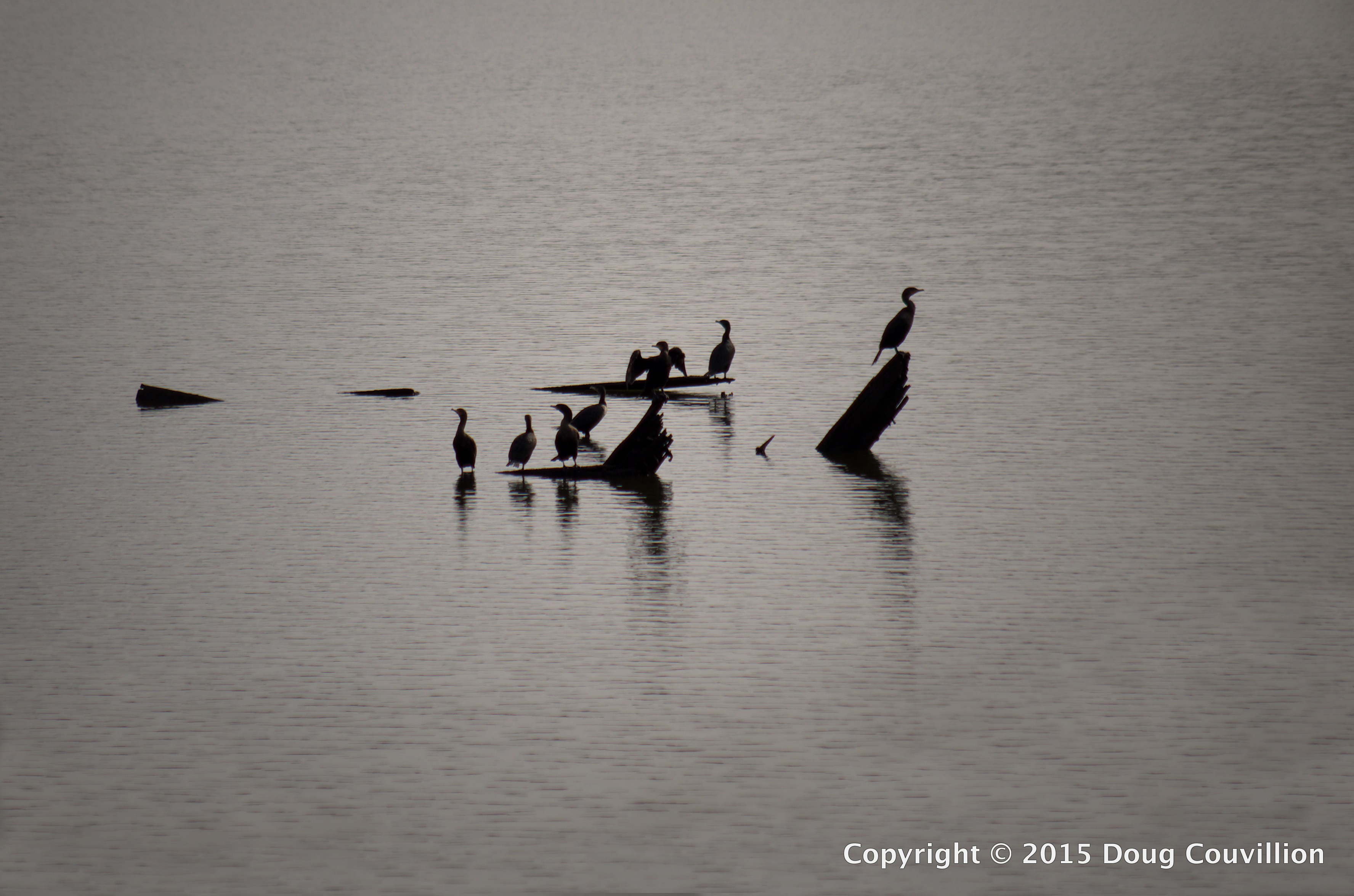photograph of several anhingas silhouetted on the James River near Richmond, VA