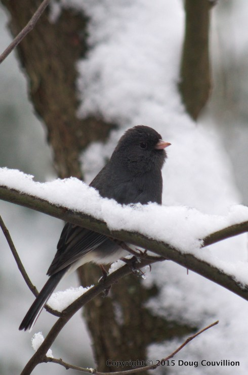 photograph of a Junco on a snowy branch