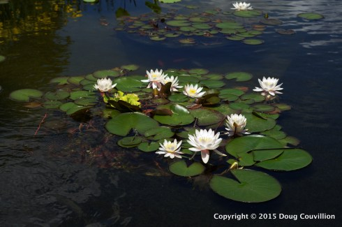 photograph of water lilies at the Virginia Museum of Fine Art