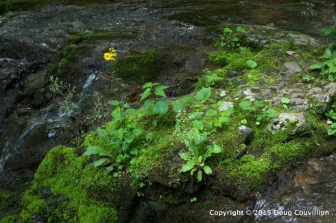 photograph of a rocky outcropping in a stream, covered with wildflowers in Shenandoah National Park, Virginia, USA