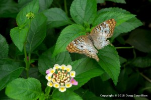 Photograph of a small, brown butterfly near flowers