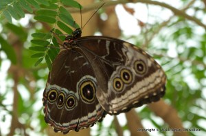 Photograph of a Common Morpho butterfly