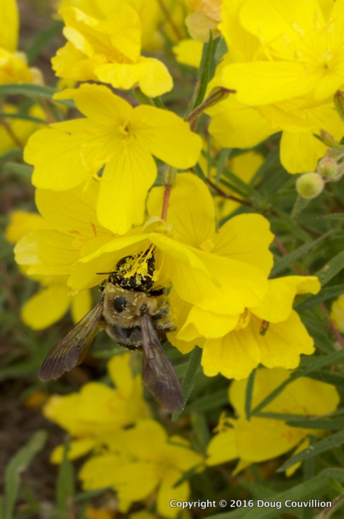 Photograph of a bumble bee pollinating yellow flowers