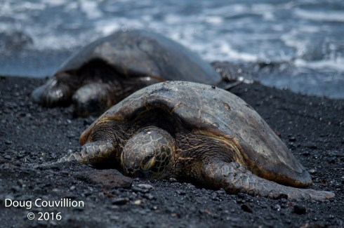 Photography by Doug Couvillion: Two Hawaiian Green Sea Turtles resting on a black sand beach