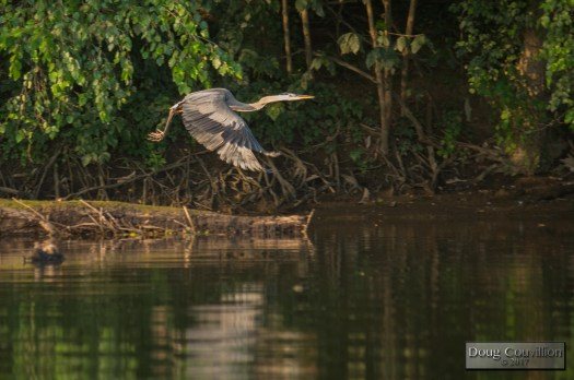 photograph of a great blue heron flying along the bank of the James River by Doug Couvillion