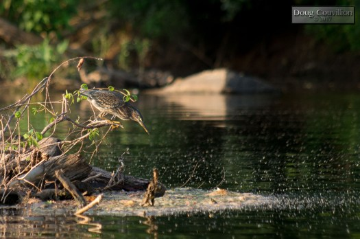 Photograph of a Green Heron on a log waiting to strike at a fish by Doug Couvillion