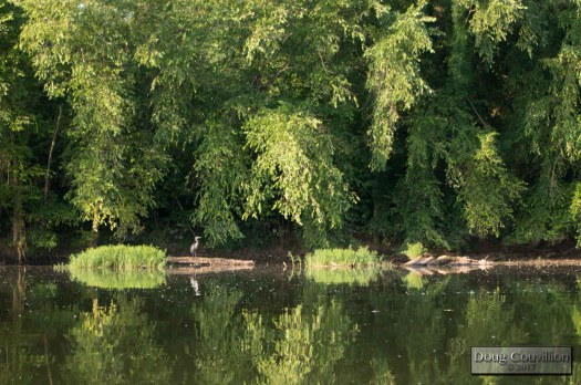 Photograph of a great blue heron on the James River by Doug Couvillion