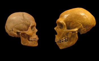 A Neanderthal's skull (right) was larger than a human's (left)
