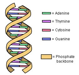 A schematic of DNA, showing the nucleotide bases that code the information it contains. (click for credit)