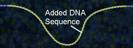 DNA with a new sequence that has been added as a result of  CRISPR-Cas9's action.  (taken from the video posted at the end of this article)