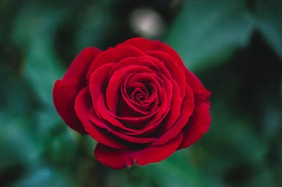 arti warna mawar merah via unsplash ala duniamasak