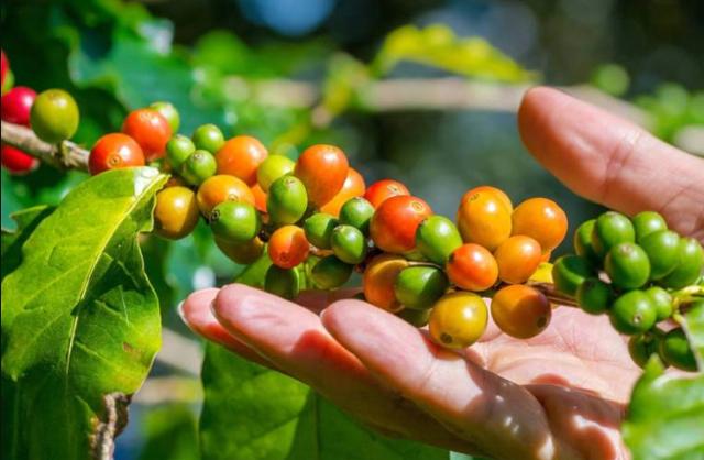 Wisata kebun kopi via iyakan.com