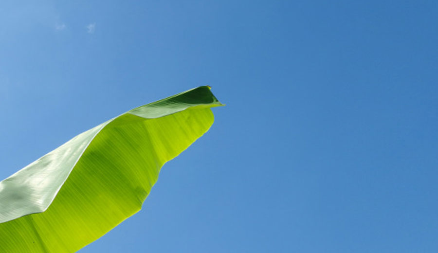 Manfaat daun pisang via freepik ala tim duniamasak.com