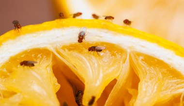 how do you get rid of fruit flies