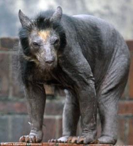 shaved-bear