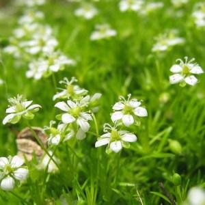 Irish Moss Lawn