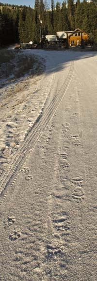 Wolf and Grizzly tracks on the road