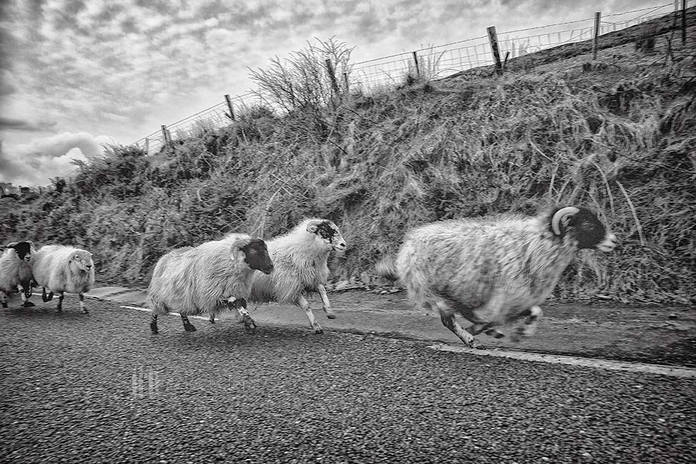 Sheep Racing-The Dingle races