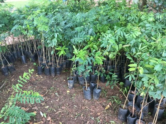 Foto mostra mudas de árvores nativas para a campanha plante sua árvore