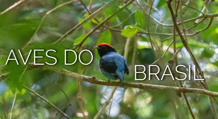 Foto mostra pássaro Tangará em meio a árvore