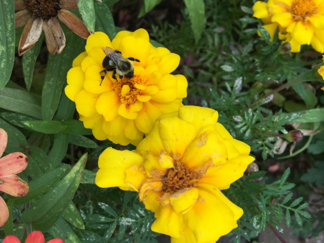 Foto mostra uma abelha polinizando flores