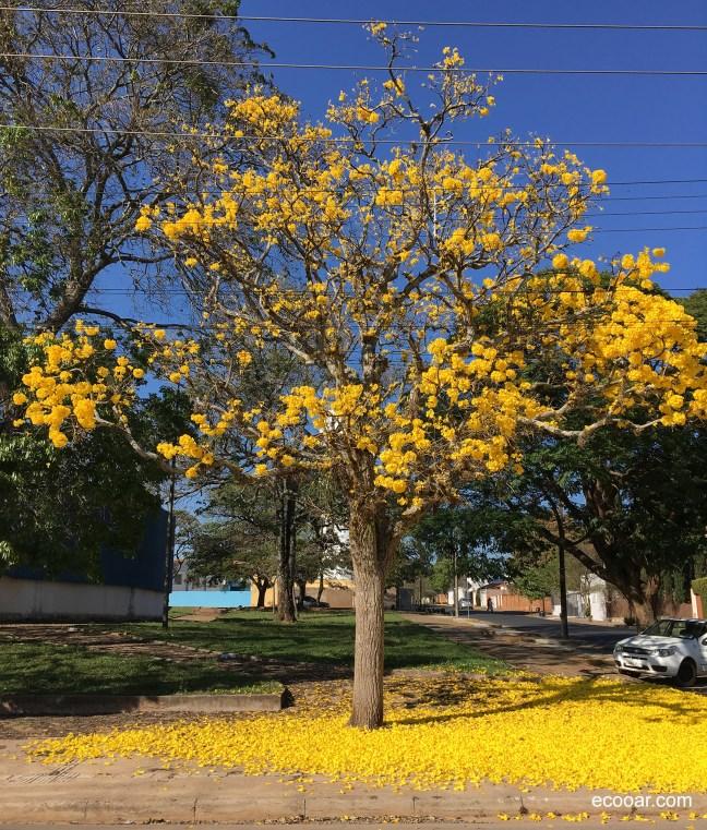 Foto mostra árvore florindo em uma praça
