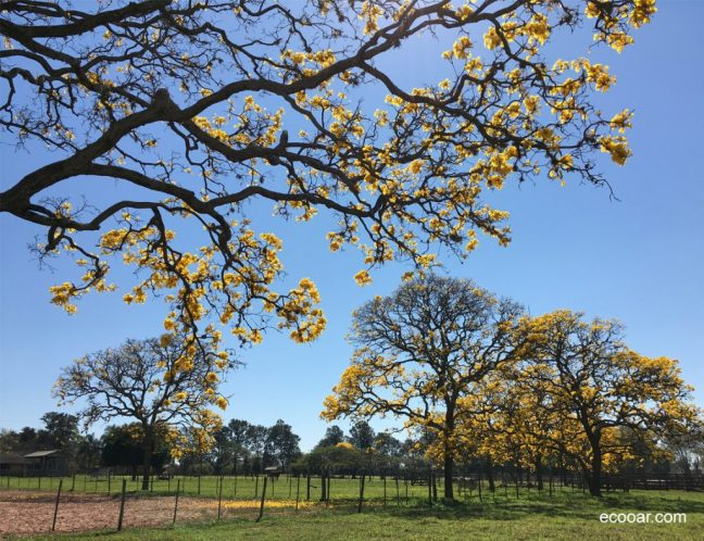 Foto mostra ipê amarelo em uma fazenda