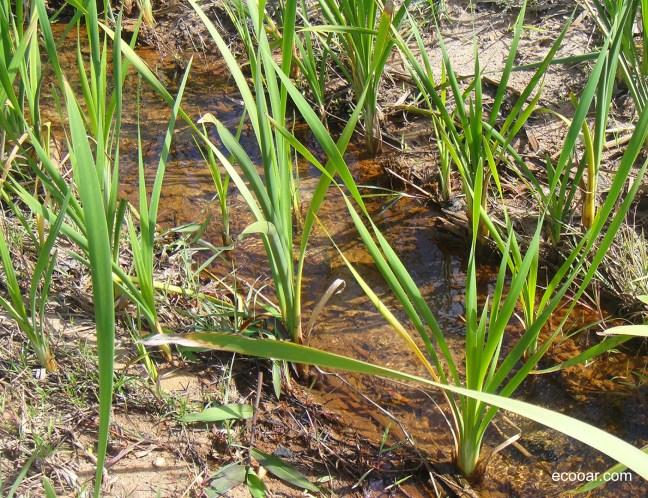 Foto mostra nascente em destaque, com vegetação natural, em reflorestamento Ecooar