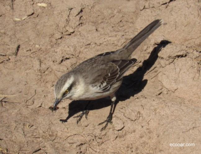 Foto mostra sabiá-do-campo, uma das aves que vivem nas matas brasileiras