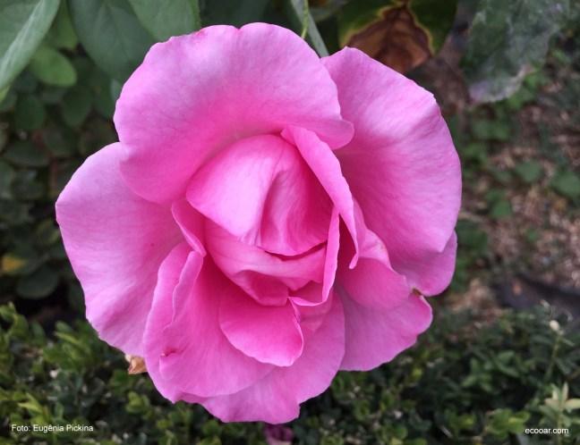Foto contém uma rosa em close