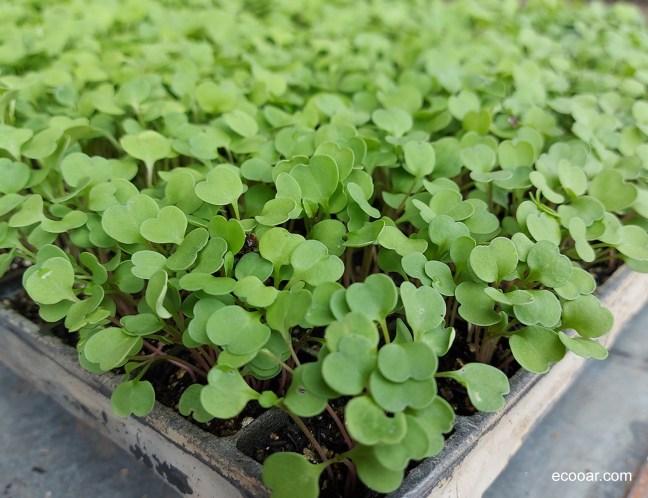 Foto mostra mudas de rúcula em uma bandeja, ideal para uma vida sustentável
