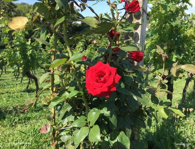 Foto contém rosa vermelha ao lado de parreiral