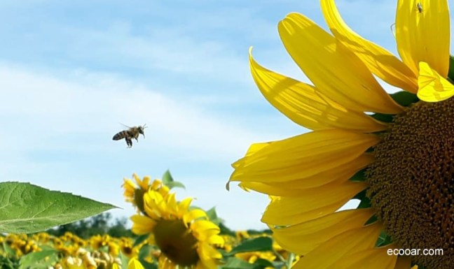 Foto mostra um campo de girassol e uma abelha se aproximando