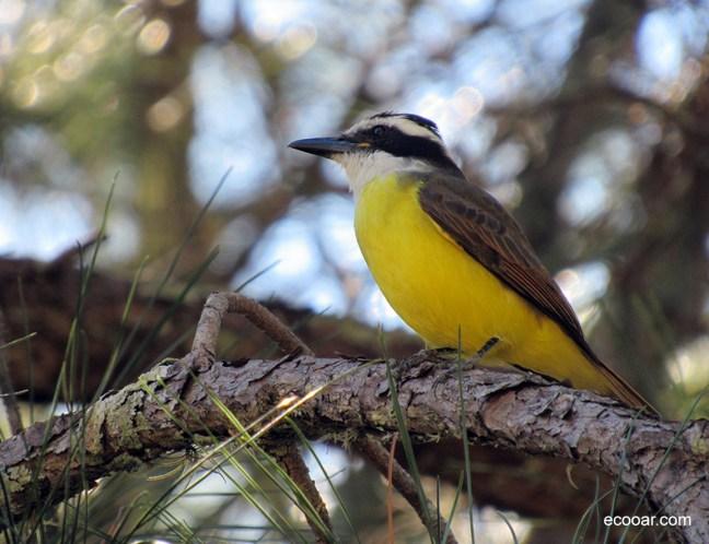 Foto mostra ave bem-te-vi em uma ramo de árvore