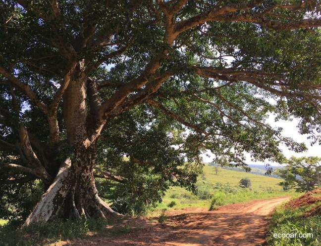 Foto mostra árvore figueira-branca adulta com uma estrada de terra passando ao seu lado