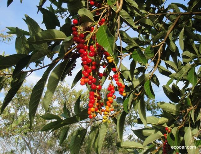 Foto mostra frutos da árvore pau-de-viola
