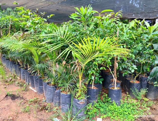 Foto mostra foto de viveiro com várias mudas de árvores