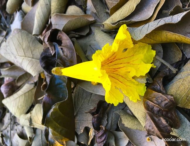 Foto mostra flor de ipê em meio a folhas secas