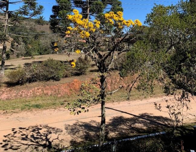 Foto mostra um dos ipês com uma estrada de terra ao fundo