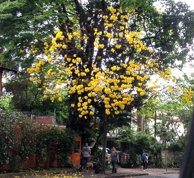 Foto mostra ipê amarelo em uma das ruas de São Paulo