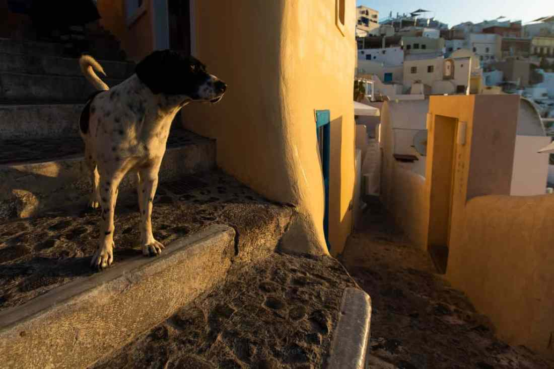 The Streets of Santorini Dogs and Cats