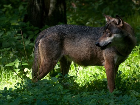 The Eurasian grey wolf, leaner than its American cousin, was driven to extinction in France in the 20th century. Thanks to a dedicated conservation effort, a small population has returned to the Alps. Photograph by Volker.G, courtesy Wikimedia
